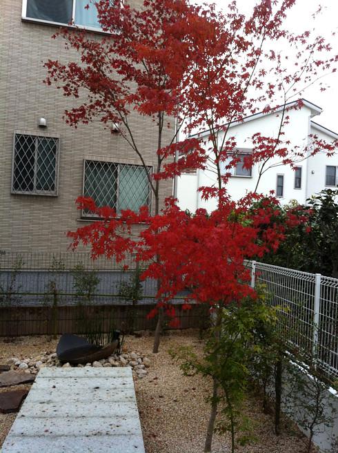 紅葉 の時期を迎えたモミジが真っ赤に色付く | 川口の白い家