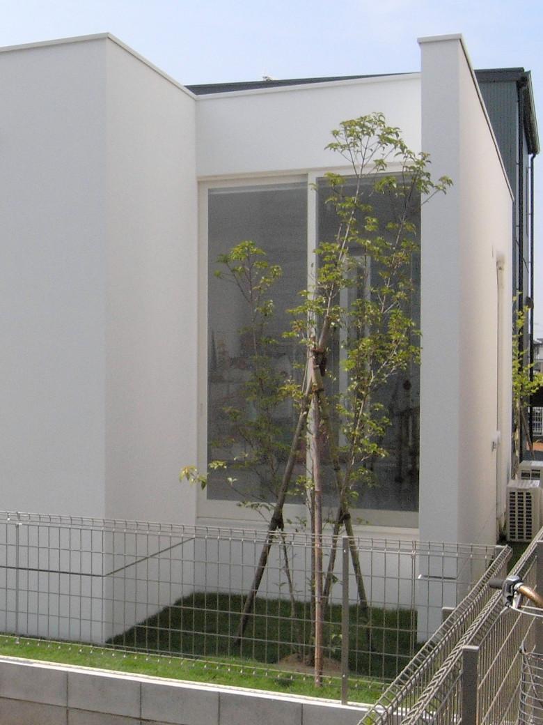 坪庭に植えたヤマボウシの株立ち